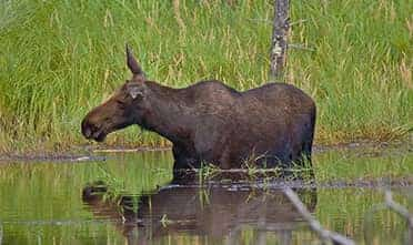 a dark brown donkey with long ears standing in the water with long grass on the bank looking beyond
